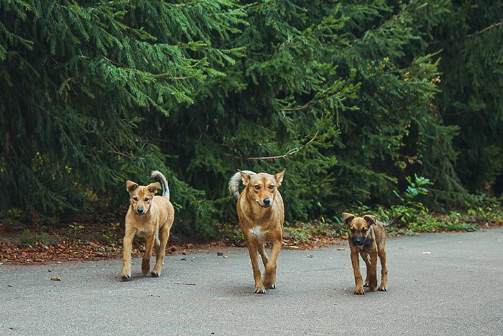 Собаки в Чернобыле